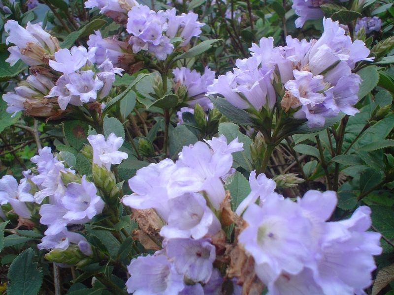 Rare flowers kurinji flower buy rare flowers